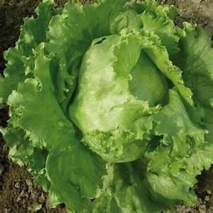 Iceberg lettuce - Agripiante.it