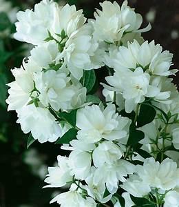 Blühende Pflanzen Winterhart : jasmin pflanze bauern jasmin bei baldur garten online kaufen ~ Michelbontemps.com Haus und Dekorationen