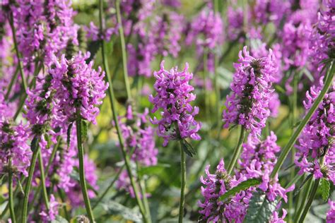 Gambar : menanam padang rumput ungu herba botani