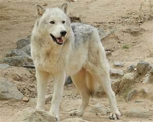 wolf dog hybrid