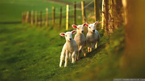 spring lambs wallpapers crazy frankenstein