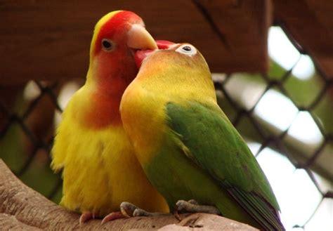 gabbie per pappagalli inseparabili pappagalli inseparabili idee green