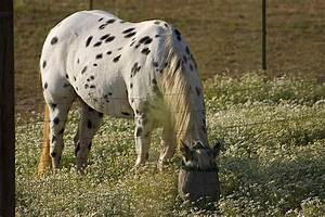 Flickr: The Pony of the Americas (POA) horses Pool
