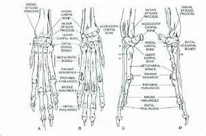 Bones Of The Carpus  Metacarpus  And Phalanges Of A Dog