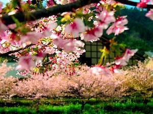 nature, widescreen, flower, landscape, sakura, beautiful ...