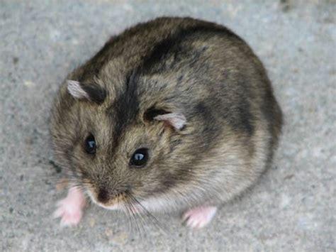 le hamster fiche hamsters cochons d inde lapins