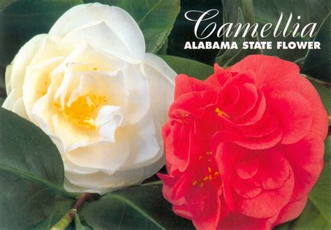 alabama state flower picture beautiful flowers