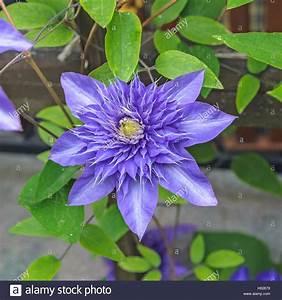 Clematis Immergrün Winterhart : klematis waldrebe multi bleu clematis 39 multi blue 39 cl matite blue multi sorte de ~ Markanthonyermac.com Haus und Dekorationen