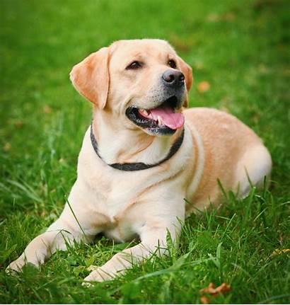 Labrador Retriever Dog Puppies Pet Breed Breeds