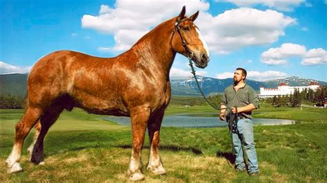 biggest horses horse strongest breeds animal which canvids