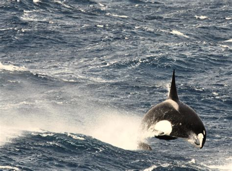 Type D Orca Breaching/porpoising, Photo By Patrick Gaspard