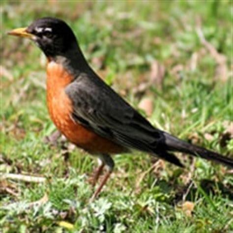 how to get rid of robin birds red robin bird