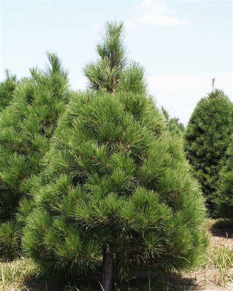 pine pine tree trees pine tree