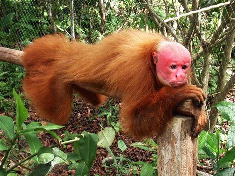 Bald Uakari (It's not easy being red) : photoshopbattles