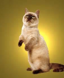 munchkin cats munchkin cat breed