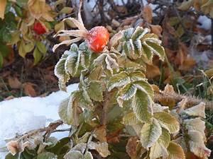 Rose In Kartoffel Anpflanzen : kartoffel rose ~ Lizthompson.info Haus und Dekorationen