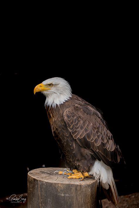 Das Wappentier Amerikas Foto & Bild | tiere, zoo, wildpark ...