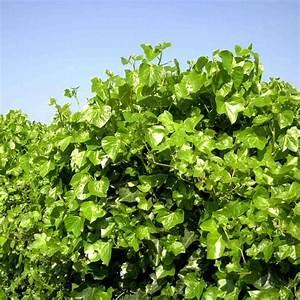 Plantes Grimpantes Pot Pour Terrasse : lierre d 39 irlande plantes et jardins ~ Premium-room.com Idées de Décoration