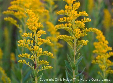 golden rod goldenrod pretty flower or evil invader the prairie ecologist