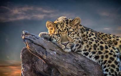Leopard Res Stone Screensaver Cool Hdwallpaperfun Animals