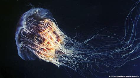 Las hermosas y extravagantes medusas del mar blanco.