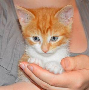 Adorable Ginger And White Tabby Last One Left | Mansfield ...