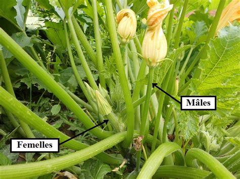 comment cuisiner les fleurs de courgettes fleurs de courgette mâles et femelles cuisine familiale