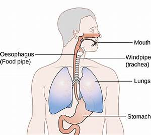 Where Is The Esophageal Section Of The Stomach Located