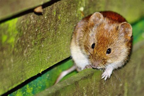 what is a vole how to keep voles out of your yard