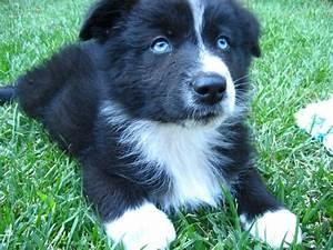 Australian Shepherd Black Bi with Blue Eyes! | Australian ...