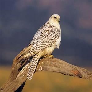 Gyrfalcon | bird | Britannica.com