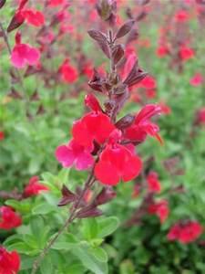 Salvia greggii '' Salvia, Greggii Red from Mortellaros