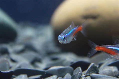 image libre transparent poisson poisson d eau douce animal color 233