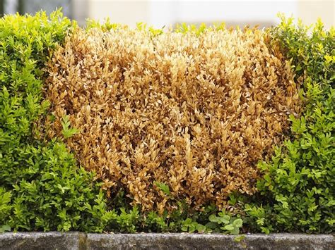 Buchsbaum Braune Blätter by Now Is The Time To Trim Your Evergreen Hedges Dave S Garden
