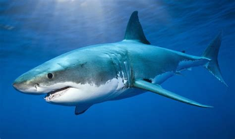 Tiger Shark - Five Most Dangerous Sharks to Humans - Pictures - CBS News