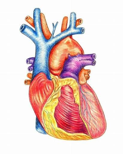 Heart Human Drawing Coeur Humain Herz Anteriore