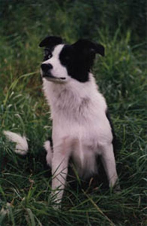 standard du border collie chien de berger groupe