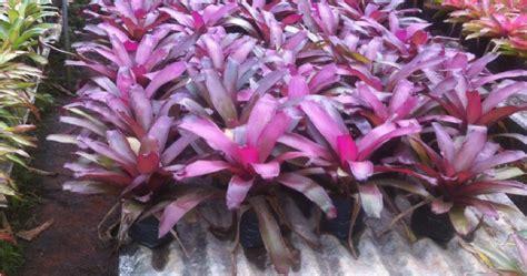 tukang tanaman hias jual pohon nanas nanasan bromelia
