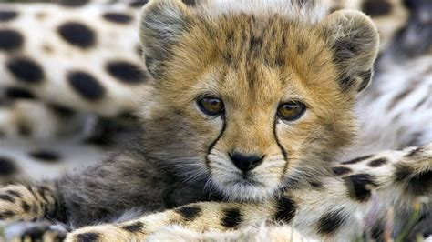 cheetah wallpapers hd pixelstalknet