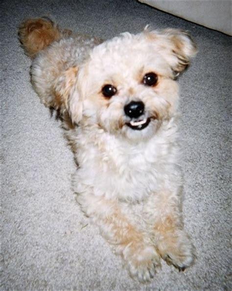 pekepoo dog breed pictures
