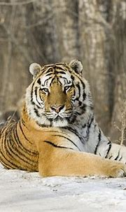 Footage of wild Siberian tiger captured in northeast China ...