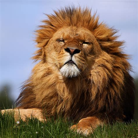 Hd Lion Pictures Lions Wallpapers Hd Animal Wallpapers