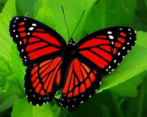 most colorful butterfly in the world - Google Search ...