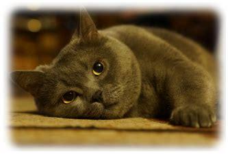 Kačių veislės: britų trumpaplaukė katė   MyPets.lt