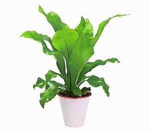 Pflanzen Für Flur : nestfarn streifenfarn geeignet f r dunkle flure natur pinterest pflanzen ~ Bigdaddyawards.com Haus und Dekorationen