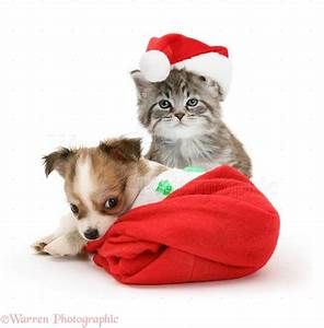 Pets: Maine Coon kitten and Chihuahua puppy in Santa hats ...