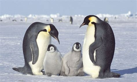 Emperor Penguins Melting Ice