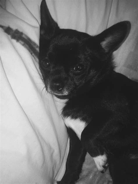 boy chihuahua cross pomeranian short haired ilkeston