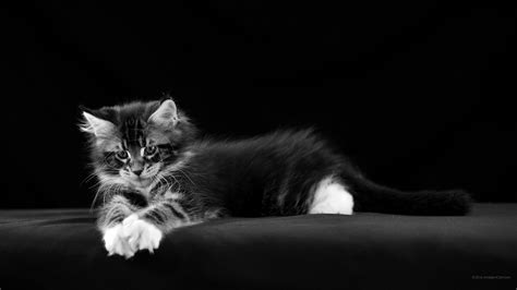 bureau ecran noir 2560 x 1440 noir et blanc fonds d 39 écran gratuits chats