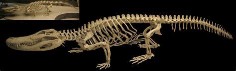 amnh alligatorjpg  animal anatomy